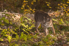 Bobcat (Lynx rufus) Turns Left Stock Photography