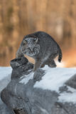 Bobcat Lynx rufus Turns on Log. Captive animal Stock Photography