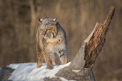 Bobcat Lynx rufus Turns on Log Ears Back. Captive animal Stock Photos