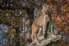 Bobcat Lynx rufus underifrån på filial Royaltyfri Bild
