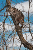 Bobcat (Lynx rufus) Up in Tree. Captive animal Stock Image