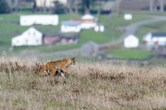 Bobcat - Lynx rufus. View of a wild bobcat in a tall grassy area with homes in the background near Point Arena  in California Stock Image