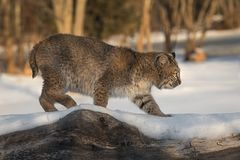 Bobcat Lynx rufus Walks Across Log. Captive animal Royalty Free Stock Images