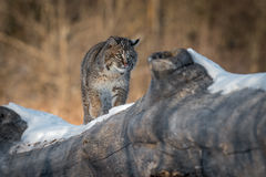 Bobcat Lynx rufus Walks Across Log Royalty Free Stock Image