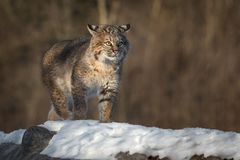 Bobcat Lynx rufus Walks Forward On Log. Captive animal Royalty Free Stock Photography