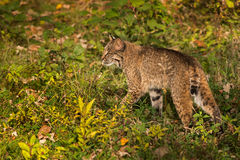 Bobcat (Lynx rufus) Walks Left Through Grass Stock Image