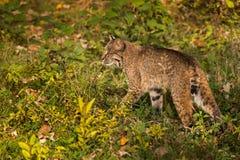 Bobcat (Lynx rufus) Walks Left Through Grass Stock Image