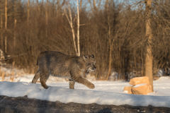 Bobcat Lynx rufus Walks Right Across Log Stock Photo