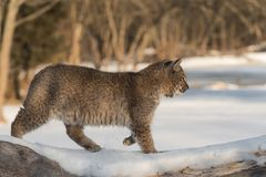 Bobcat Lynx rufus Walks Right. Captive animal Royalty Free Stock Photo