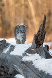 Bobcat & x28;Lynx rufus& x29; Walks Up Log. Captive animal Stock Photos