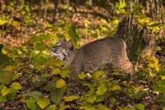 Bobcat Lynx-rufus ziet omhoog eruit Royalty-vrije Stock Foto's