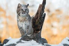 Bobcat Lynx-rufus zit Lang op Logboek Royalty-vrije Stock Afbeeldingen