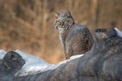 Bobcat Lynx-rufus zit op Logboek Royalty-vrije Stock Foto