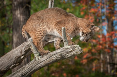 Bobcat Lynx rufusblickar ner som hoppar Arkivbild