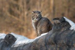 Bobcat Lynx rufusblickar tillbaka över skuldra Arkivfoton