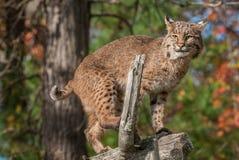 Bobcat Lynx rufusblickar ut från uppe på filial Arkivbild
