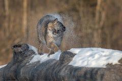 Bobcat Lynx-rufusschokken van Sneeuw Stock Afbeeldingen