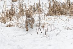 Bobcat Lynx-rufusspelen in de Sneeuw royalty-vrije stock foto