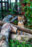 Bobcat, Lynx sitting among the logs in the zoo Stock Photo