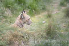 Bobcat or lynx sitting in tall grass. Stock Photos