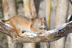 Bobcat making mark on tree Stock Images