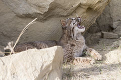 Bobcat with mouth fully open. Bobcat opening mouth and displaying canines Stock Photo