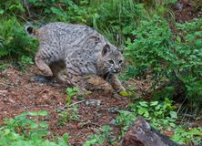 Young Bobcat on the Hunt royalty free stock photography