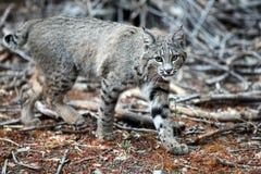 Bobcat onderzoekt camera (Lynxrufus), Californië, Yosemite Nati Stock Afbeeldingen