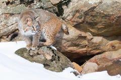 Bobcat op Rotsachtige Richel royalty-vrije stock foto
