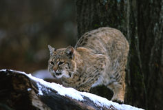 Bobcat op Tak Stock Fotografie