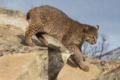 Bobcat out on a hunt royalty free stock image