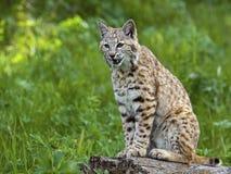 Bobcat på rest Arkivbild