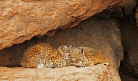 Bobcat Pair Royalty Free Stock Photography