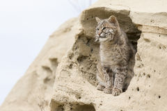 Bobcat perched in adobe rock formation Stock Photo