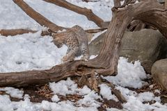 A bobcat playing with a mouse on a log during Winter royalty free stock image