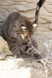 Bobcat playing with weeds. In rocky terrian Royalty Free Stock Image