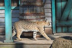 A bobcat on a porch. A bobcat lynx rufus strolling along a porch at Gatorland Florida, the bobcat is territorial and largely solitary and is occasionally seen in Stock Image