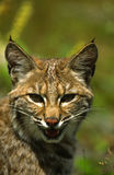 Bobcat Portrait. A close up portrait of a bobcat Royalty Free Stock Photography