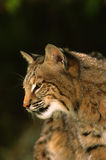 Bobcat Portrait. A close up side portrait of a bobcat Stock Photography
