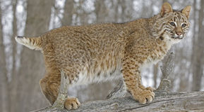 Bobcat portrait. Close up of a bobcat in Northern Minnesota Royalty Free Stock Photography