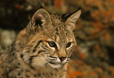 Bobcat Portrait. A close up portrait of a bobcat Stock Images