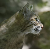 Bobcat Portrait. A Young Bobcat Portrait,Close Up Royalty Free Stock Photography