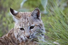 Bobcat Portrait. The feline bobcat Lynx rufus in the mountains remains illusive Stock Photos
