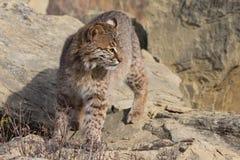 Bobcat Portrait Photos stock
