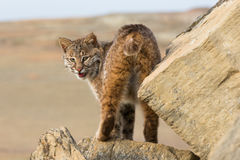 Bobcat portrait. Bobcat in beautiful portrait view Royalty Free Stock Images