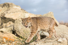 Bobcat portrait Stock Photos