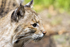 Bobcat Portrait Closeup. Bobcat Lynx Rufus Wild Cat Side Profile Portrait Closeup Stock Photography