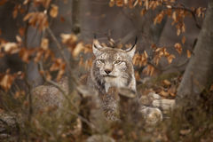Bobcat. Portrait of European bobcat, in the forest Stock Photography