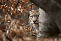 Bobcat. Portrait of European bobcat, laying in the forest Stock Photo