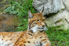 Bobcat Portrait Stock Image